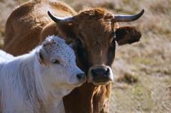 cow-1861162_1920