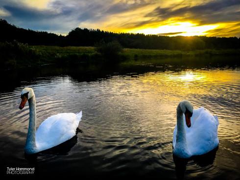 Swans at Queen Elizabeth 2nd Park (QE2)