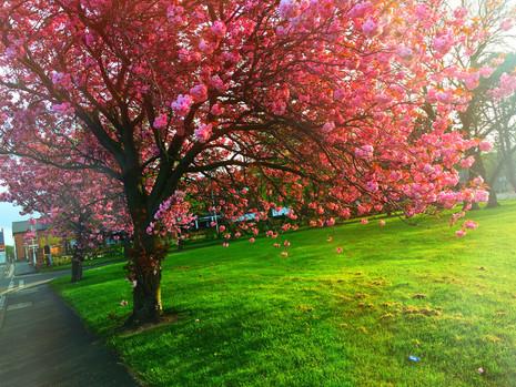 Pink Blossom Tree in Ashington