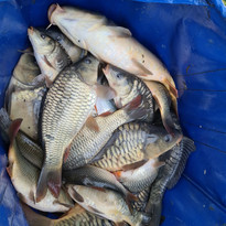 CARP AND TENCH FOR SALE 31.jpg