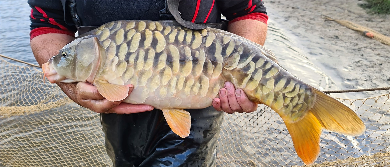 CARP%2520AND%2520TENCH%2520FOR%2520SALE%