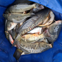 CARP AND TENCH FOR SALE 24.jpg