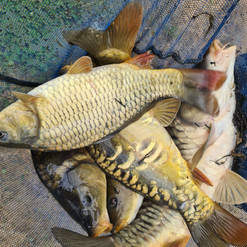 CARP AND TENCH FOR SALE 39.jpg
