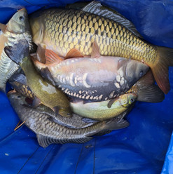 CARP AND TENCH FOR SALE 32.jpg