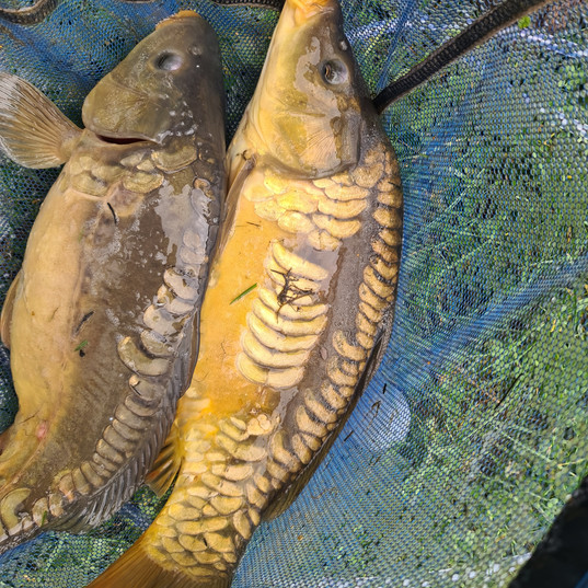 CARP AND TENCH FOR SALE 44.jpg