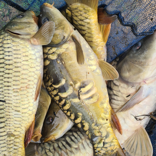 CARP AND TENCH FOR SALE 41.jpg