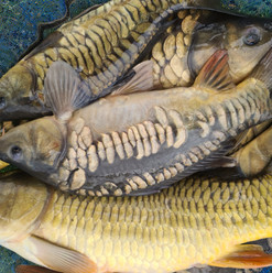 CARP AND TENCH FOR SALE 42.jpg