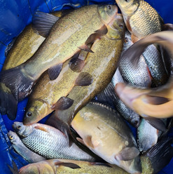 CARP AND TENCH FOR SALE 28.jpg