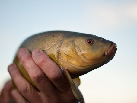 Tench Fish For Sale From Lincolnshire Fisheries
