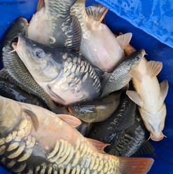 CARP AND TENCH FOR SALE 20.jpg