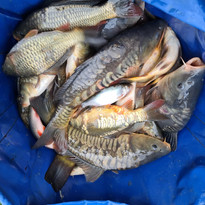 CARP AND TENCH FOR SALE 23.jpg