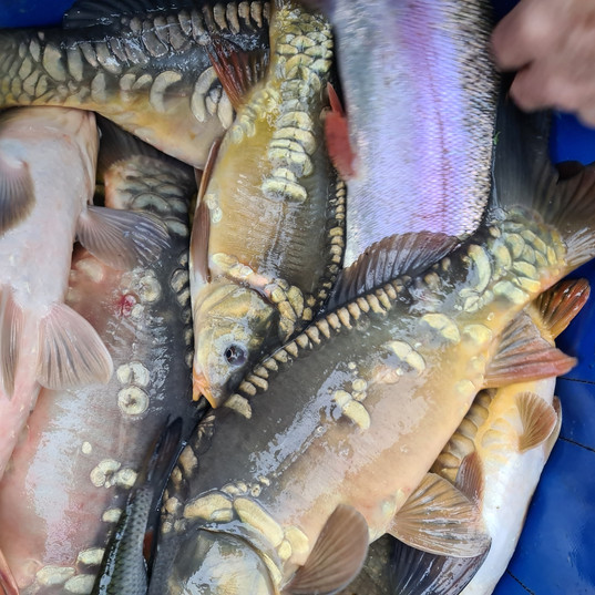CARP AND TENCH FOR SALE 33.jpg