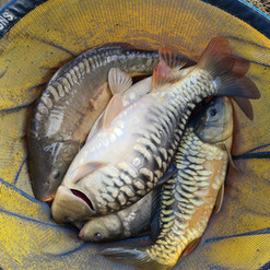 CARP AND TENCH FOR SALE 65.jpg