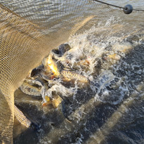 CARP AND TENCH FOR SALE 55.jpg