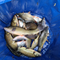 CARP AND TENCH FOR SALE 25.jpg
