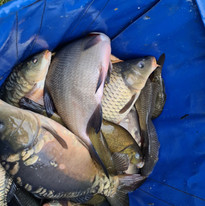 CARP AND TENCH FOR SALE 22.jpg