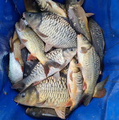 CARP AND TENCH FOR SALE 30.jpg