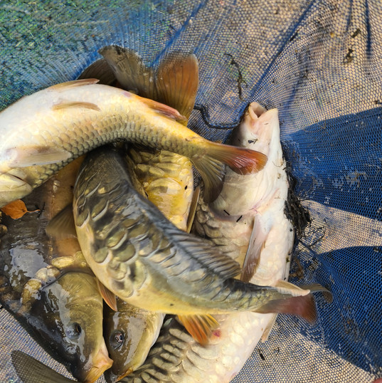 CARP AND TENCH FOR SALE 38.jpg