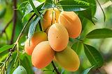 עץ מנגו מאיה מחיר.jpg