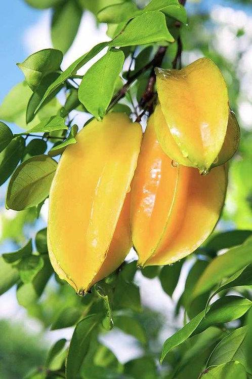 עץ קרמבולה מתוקה