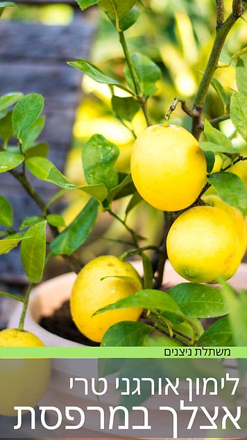 עץ לימונים במרפסת הבית