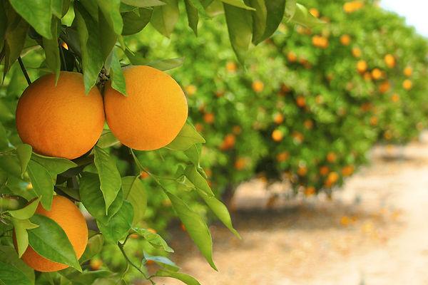 מחיר עץ תפוזים.jpg
