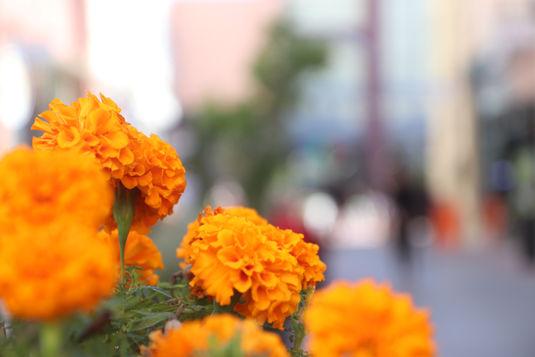 צמח הטגטס