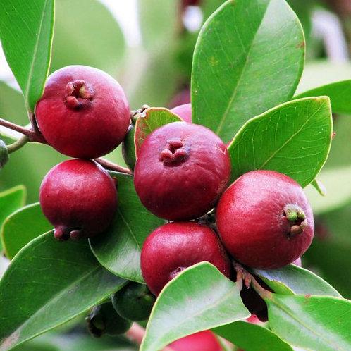 עץ גויאבה תותית