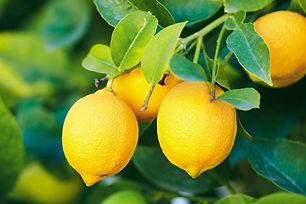 מחיר עץ לימון.jpg