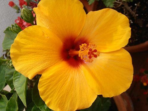 איביסקוס סיני צהוב