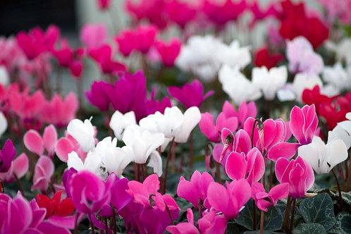 רקפת פרח קטן