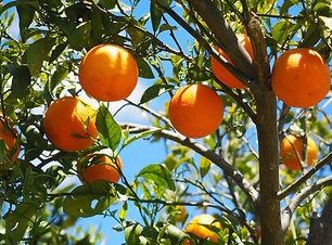 עץ תפוזים מחיר.jpg