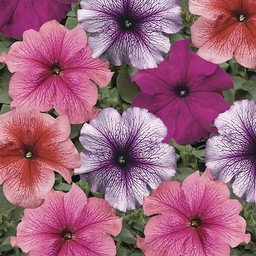 Petunia - Colorama Mixed