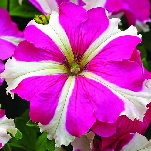 Star Color Petunia