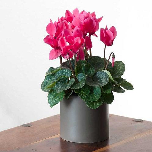 רקפת פרח בינוני
