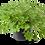 Thumbnail: גרניום לימוני בעציץ 12