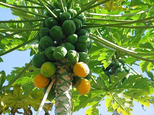 עץ פפאיה פראדייס