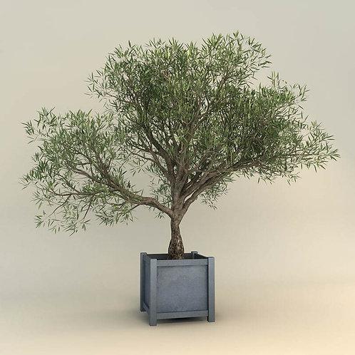 עצי זית גדלים שונים