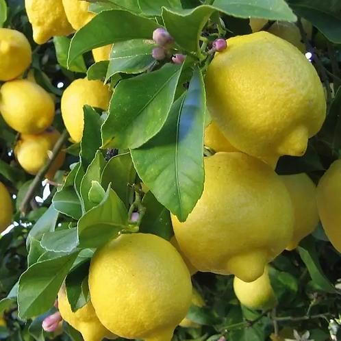 עץ לימון וילה פרנקה