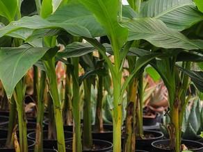 גידול עץ בננה בבית