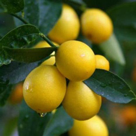 עץ לימון ננסי / לימקוואט