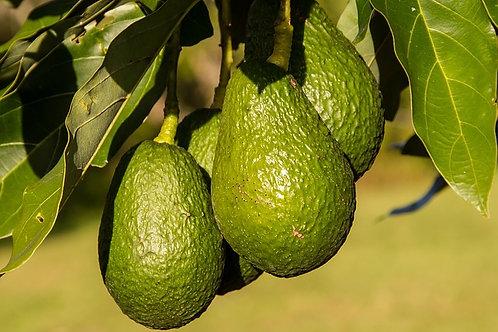 עץ אבוקדו - זנים שונים