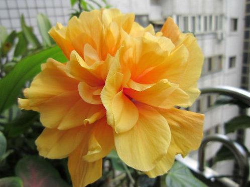 איביסקוס סיני צהוב מלא