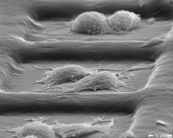 Cell adhesion