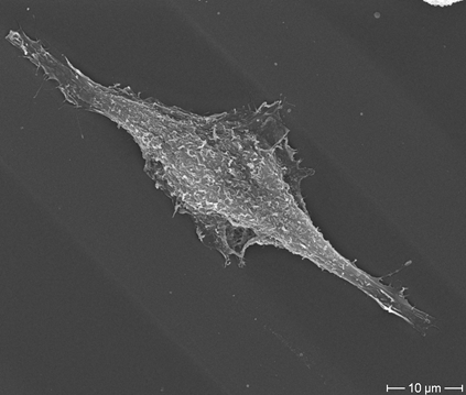 Fibroblast on FIMIC substrate