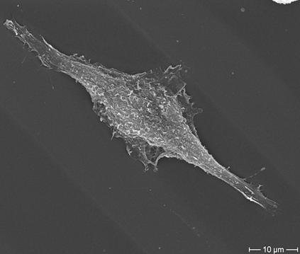 Fibroblast on FIMIC substrate