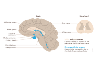 Illustration of the regional differences in the brain microvasculature for a review.
