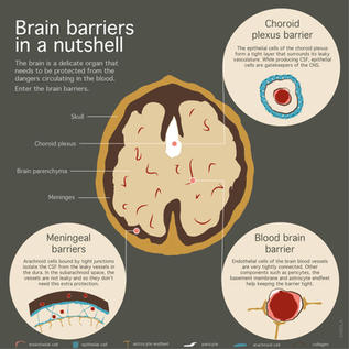 Science outreach infographic of the brain barriers.