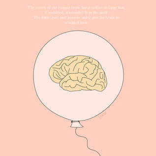 Science outreach illustration of the brain cortex and its wrinkled nature.