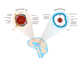 Illustration of the brain barriers for a review.